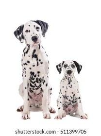 Two cute dalmatian dogs one adult and one puppy sitting and facing the camera isolated on a white camera