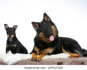 Two cute dogs posing in a studio.