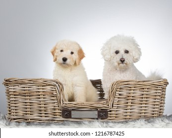 Two cute dogs sitting in a wooden box. Bichon Frise and doodle puppy.