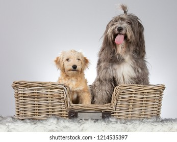 Two cute dogs in a studio with white background. The dogs sit in a wooden basket.