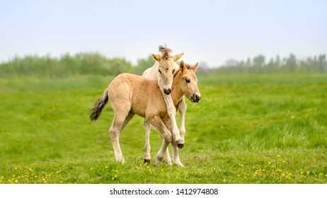 Two cute dun colored Konik foals playing, legs hang around the neck, they are part of a free-range herd of the Polish primitive horse breed live in nature reserve De Rug, Meuse, Roosteren, Netherlands