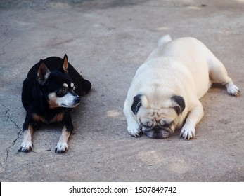 two cute fat dogs lying outdoor on concrete floor