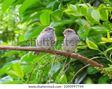 two-cute-fledgling-baby-birds-450w-10909