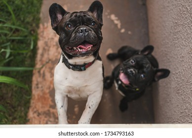 two cute frenchie bulldogs looking up