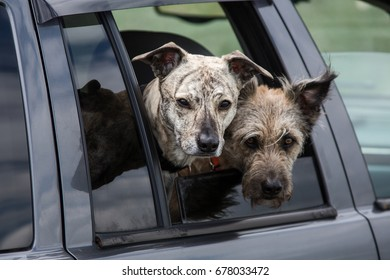 Two cute and funny dogs peep out the car window. They travel.