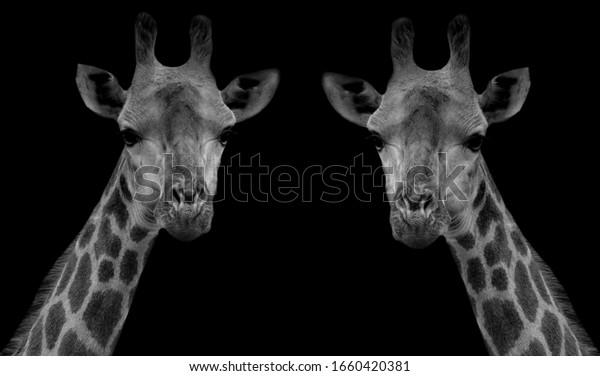 Two Cute Giraffe Beautiful Face