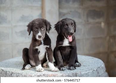 Two Cute Golden Retriever mix Labrador Retriever puppy sit on marble table.