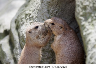 two cute gophers who get along well