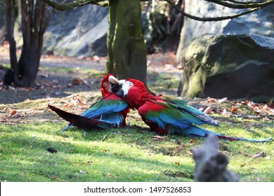 Two cute green-winged macaws on grass