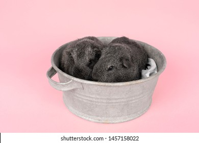 Two cute grey guinea pigs sitting next to eachother in a pewter tin bath  on  pink background