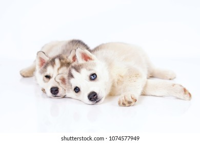 Two cute grey and white Siberian Husky puppies with different eyes lying down on a white background