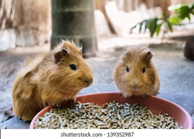 Two cute guinea pigs are having meal. Shot in South Africa.