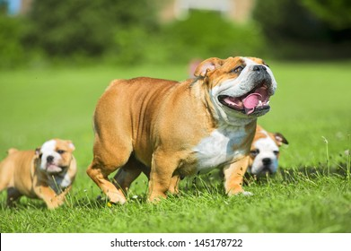 Two Cute happy bulldog puppies following their mother dog