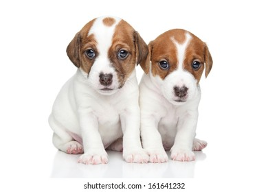 Two Cute Jack Russell terrier puppies posing on a white background