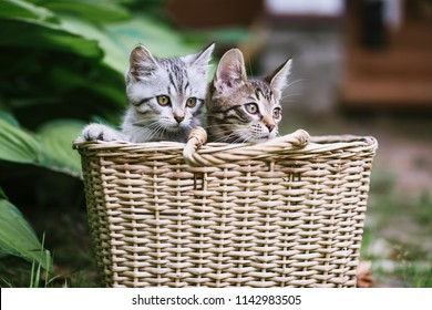 Two cute kittens look out of the basket. A non-pedigreed cats, blurred background. Pet care concept.