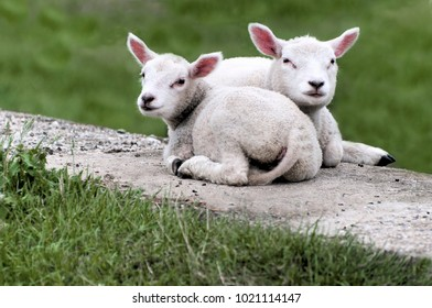 two cute lambs lying next to each other