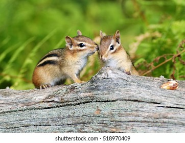 Two cute little baby chipmunk siblings sitting on a fallen tree