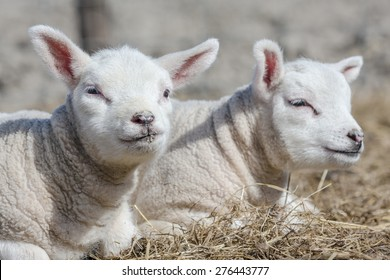 Two cute little baby lambs lay down on a clean bed of dry hay. The enjoy the warm spring sunshine. One of them is looking at you.