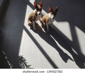Two cute little basenji puppy dog enjoying sun on the concret floor at home.
