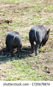two cute little black mini pigs on the meadow looking for food