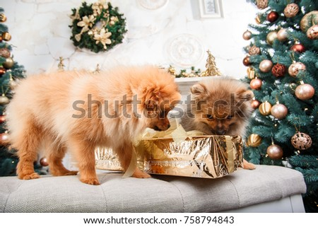 Two Cute Little Pomeranian Dogs On Stock Photo Edit Now 758794843