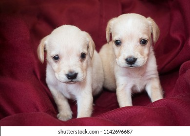 Two cute little puppies white colour at home on red textile sofa