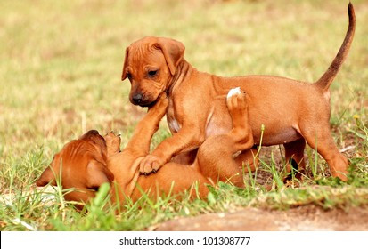 Two cute little purebred Rhodesian Ridgeback puppies playing together on the grass outside.