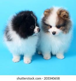 two cute little spitz puppies closeup