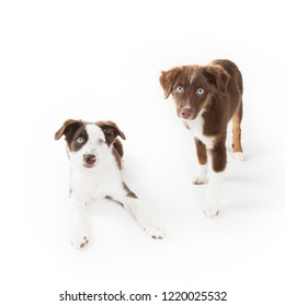Two cute Miniature Australian Shepherd puppies isolated on white.