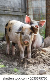 Two cute piglets playing outside, free in the backyard, in a beautiful day of spring.