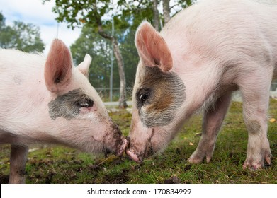 Two cute pigs in love