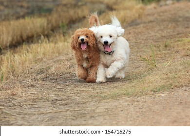 Two of  cute poodle dogs running on nature background