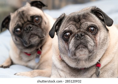 Two cute pugs, brother and sister.  Pug dog portrait.