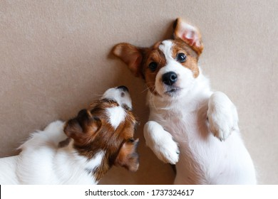 Two cute puppies Jack Russell Terrier on a beige background. View from above. A puppy with a black nose and sparkling eyes looks at the camera, folded legs. Dog Day. Place for text.