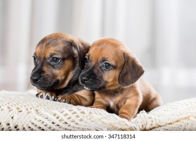 Two cute puppy lying on the sofa