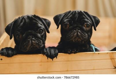 two cute puppy pug