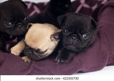 Two cute purebred pugs puppies lying on mat