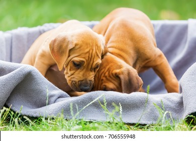 two cute Rhodesian Ridgeback puppies in a basket outdoors