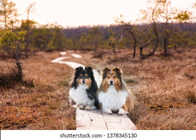 Two cute sable white and black tricolor shetland sheepdog, sheltie lies outdoors on autumn day in the forest swamp. Little collie, lassie dogs outside portrait on autumn magic sunset bog in Estonia