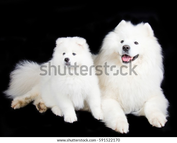Two cute Samoyed dogs (isolated on a black background)