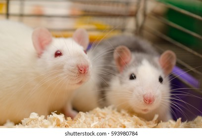 Two cute scared rats in a cage in a laboratory (selective focus on the white rat)