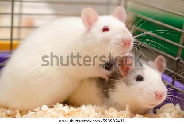 Two cute scared rats in a cage in a laboratory (selective focus on the rat eyes)