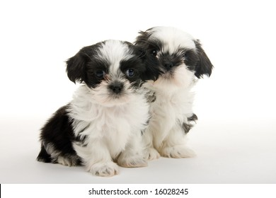 Two cute Shih Tzu puppies sitting next to each other. Shot on white background.