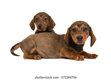 Two cute sitting and lying shorthair dachshund puppy dogs facing the camera isolated on a white background