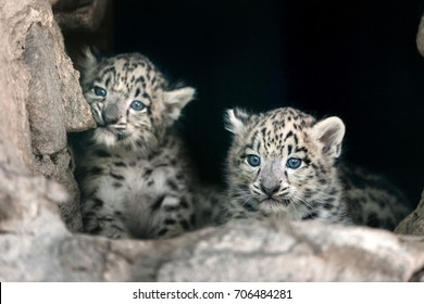 Two cute snow leopard baby portrait