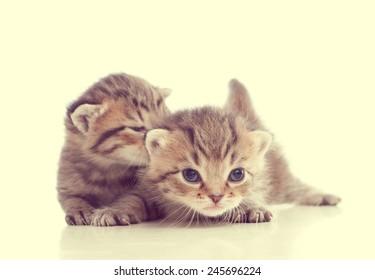 Two cute tabby kitten