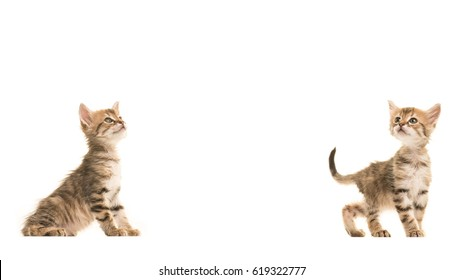 1000 Turkish Angora Baby Cat Pictures Royalty Free Images Stock