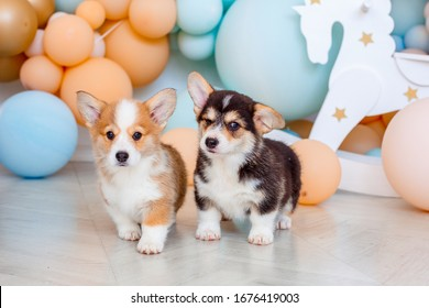 two cute Welsh Corgi Pembroke puppies photo Studio on the background of balloons