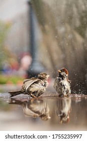 Two cute wet sparrows bathe in the water on a hot summer sunny day. City landscape.