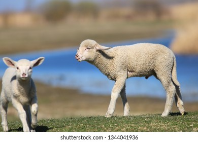 Two cute white lamb playing on the meadow